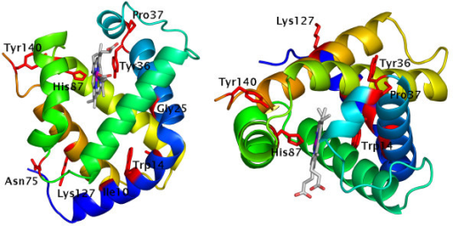 Significantly selected positions in chicken haemoglobin. The structure of chicken haemoglobin (PDB:1hbr) chain A is shown; residue backbones are coloured blue to orange from N to C terminal. Residues most strongly correlated with structural change are depicted in red. Figure created with PyMol (Delano Scientific, San Carlos, CA, USA).