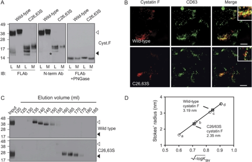 Cystatin F subcellular localization and secretion does not depend on dimer formationA) SDS–PAGE separated cell lysates (L) and culture medium (M) under nonreducing conditions from 293T cells transfected with wild-type or C26,63S human cystatin F. Western blots were probed with an antibody raised against full-length cystatin F (FL Ab) (left and right panels) or an N-terminal peptide (N-term Ab) (center panel). Right panel shows change in mobility following deglycosylation with PNGase under reducing conditions. Open and closed arrowheads denote dimeric and monomeric cystatin F, respectively. Asterisk denotes N-terminal processing of the C26,63S mutant. B) Immunofluorescence microscopy of 293T cells shown in (A) expressing wild-type or C26,63S cystatin F (red) and counterstained with an antibody to the lysosomal marker CD63 (green). Insets demonstrate areas of colocalization at high magnification. Bars, 10 μm. C) Western blot analysis following size exclusion chromatography. Nonreducing SDS–PAGE gel analysis of equal sized aliquots of column fractions obtained following chromatography of wild-type (top panel) or C26,63S (bottom panel) cystatin F. D) The Stokes' radius of wild-type (3.19 nm) and C26,63S (2.35 nm) cystatin F were calculated following size exclusion chromatography. Values were interpolated from the calibration curve obtained by the linear fitting of Stokes' radius versus (−log Kav)1/2 for a series of proteins with known Stokes' radii, as described. Protein calibration was obtained using ribonuclease A (a), carbonic anhydrase (b), ovalbumin (c) and conalbumin (d).