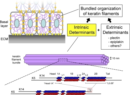 Mechanisms Of Keratin Filament Bundling In Basal Kerati Open I