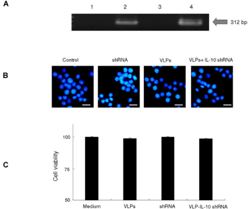 Effects of VLPs IL-10 shRNA on morphology and viability of RAW 264.7 cells. (A) Two preparations of IL-10 shRNA (IL-10i-1 and IL-10i-2) were packaged into JCV VLPs by osmotic shock. The presence of IL-10 shRNA template in VLPs was confirmed by PCR. Lane 1: VLPs; Lane 2: JCV VLPs with IL-10i-1 shRNA template; Lane 3: VLPs; Lane 4: VLPs with IL-10i-2 shRNA template. (B) RAW 264.7 cells were pseudo-infected with VLPs packaged with IL-10 shRNA and the effects of cell apoptosis were determined by 2-(4-Amidinophenyl)-6-indolecarbamidine dihydrochloride (DAPI) staining. (C) Cell viability was determined by trypan blue staining. VLPs IL-10 shRNA, VLPs only, or shRNA only did not induce cell death.