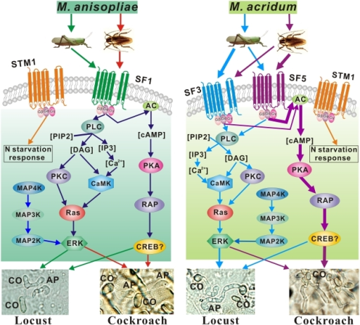 Differentially Regulated Signaling Pathways Employed By Openi - Cockroach us map