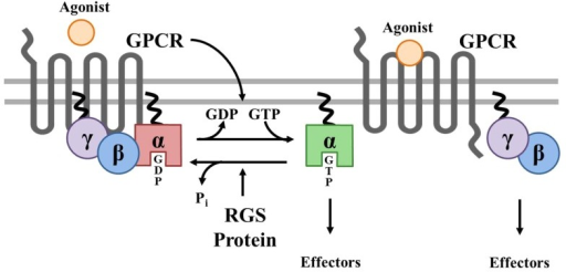 Canonical Regulation of GPCR signaling by RGS proteins. Agonist binding to G protein-coupled receptors (GPCRs) induces a conformational change that facilitates the exchange of GDP for GTP on the α subunit of the heterotrimeric complex. Both GTP-bound Gα in the active form and the released Gβγ dimer can then go on to stimulate a number of downstream effectors. RGS proteins are GTPase accelerating proteins (GAPs) for Gα, which function to terminate signaling through GPCRs by accelerating the intrinsic GTPase activity of Gα and promoting re-association of the heterotrimeric complex with the receptor at the cell membrane.