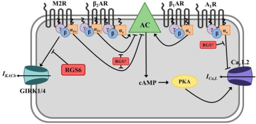 Regulator of G protein signaling-mediated regulation of cardiac automaticity in atrial myocytes. In atrial myocytes, Gs-coupled β1- or β2-adrenergic receptors (β1/2AR) stimulate adenylate cyclase-mediated production of the second messenger cyclic AMP (cAMP), activation of cAMP-dependent protein kinase (PKA), and induction of the calcium current (ICa,L) through L-type calcium channels (primarily Cav1.2). The net effect is membrane depolarization, increased cell excitation, and enhanced cardiac contractility. Adenylate cyclase is inhibited by Gαi/o-coupled muscarinic M2 receptors (M2R), and activated M2Rs can also directly induce G protein-coupled inwardly rectifying potassium channel (GIRK) current (IKACh) via Gβγ resulting in membrane hyperpolarization and inhibition of cell firing. β2ARs can also couple to Gαi/o in these cells and block AC-mediated cAMP production. Adenosine A1 receptors (A1R) also have a negative chronotropic effect in atrial myocytes via Gαo-dependent inhibition of ICa,L, though the exact mechanism whereby this occurs remains unclear. RGS6 functions to inactivate stimulated M2Rs and block subsequent GIRK current (IKACh) in atrial myocytes. The specific RGS protein(s) regulating A1Rs and Gαi/o-coupled β2AR in this tissue have yet to be identified.