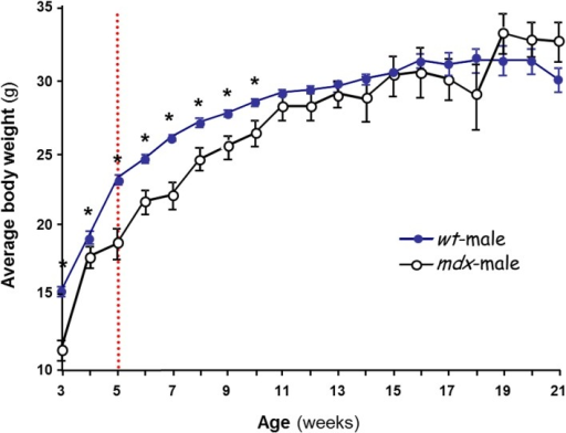 Postnatal changes in body weight in male mice. The effect of strain on body weight is shown. Several litters of C57BL/10J (wt, ) and mdx (○) male mice were weighed over 3–21 weeks. Each data point is the mean ± SEM (n = 6–34). The dashed line at ~5 weeks marks initiation of puberty in the wt. *p < 0.05 between wt and mdx of the same age, showing that mdx mice gain less weight than wt during postnatal development but reach normal level by 11 weeks.