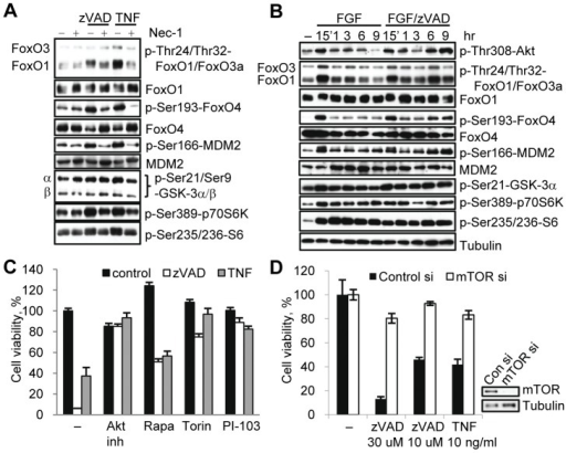 mTORC1 contributes to the regulation of necroptosis.(A) L929 cells were treated with zVAD.fmk or TNFα for 9 hr and harvested for western blot. (B) Cell under serum free condition were treated with bFGF or bFGF/zVAD.fmk for the indicated amounts of time, followed by western blotting using the indicated antibodies. (C) Necroptosis was induced by zVAD.fmk or TNFα in L929 cell in the presence of inhibitors of Akt(Akt inh. VIII) and mTOR (rapamycin, Torin-1 and PI-103). (D) L929 cells with mTOR siRNA knockdown were harvested for western blot or treated with zVAD.fmk or TNFα for 24 hrs. Cell viability was determined 24 hr after activation of necroptosis. In all graphs, average±SD was plotted.