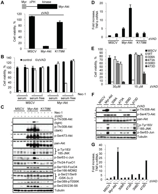 Over expression of constitutively active Akt restores necroptosis under serum free conditions.(A,B) L929 cells were stably infected with empty MSCV retrovirus or viruses encoding Myr-Akt or the catalytically inactive Myr-Akt K179M. Necroptosis was induced by the addition of zVAD.fmk under serum free conditions (A) or serum or serum free conditions with Nec-1 (B). Viability assays were performed after 24 hr. (C) Myr-Akt and Myr-Akt K179M cells were treated with zVAD.fmk and/or Nec-1 under serum free conditions for 9 hr, followed by western blot using the indicated antibodies. Endogenous Akt (∼) and Myr-Akt (*) bands are indicated. (D) L929 cells, stably infected with Myr-Akt and Myr-Akt K179KM, were stimulated with zVAD.fmk for 9 hr under serum free conditions. TNFα mRNA levels were determined by qRT-PCR and normalized using mouse 18S RNA. (E-G) L929 cells expressing Myr-Akt and Ala and Asp mutants of Thr308 and Ser473 were treated with zVAD.fmk under serum free conditions, followed by viability assay at 24 hr (E), western blot at 9 hr (F), or evaluation of TNFα mRNA levels by qRT-PCR at 9 hrs (G). In all graphs, average±SD was plotted.