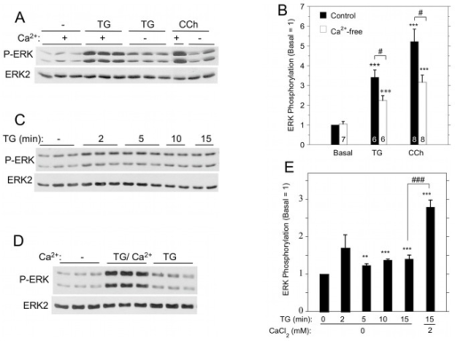 Contribution of extracellular Ca2+ to ERK1/2 activation by TG and carbachol in rat parotid acinar cells.A. Cells were suspended in the absence or presence (1.8 mM) of Ca2+, and exposed to TG (1 µM) or carbachol (10 µM) for 2 min. B. Quantitative analysis of ERK1/2 phosphorylation in conditions shown in Figure 4A. ***p<0.001 compared to basal, #p<0.05 as indicated. C. Time course of ERK1/2 phosphorylation in cells exposed to TG (1 µM) in the absence of Ca2+. D. Comparison of ERK1/2 phosphorylation in cells in Ca2+-free conditions and exposed to TG (1 µM, 15 min) or exposed to TG (1 µM, 15 min) followed by Ca2+ (1 mM, 2 min) to initiate SOCE. E. Quantitative analysis of ERK1/2 phosphorylation for conditions shown in Figure 4C and 4D. **p<0.01, ***p<0.001 compared to basal; ###p<0.001 as indicated. N = 3–16.