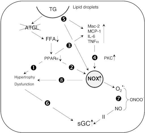 Signaling pathways that link cardiac ATGL deficiency to oxidative inflammatory stress and increased sGC activity. Impaired PPARα signaling in ATGL deficiency induces cardiac hypertrophy (path 1) that is compensated by increased sGC activity (path 6). Impaired PPARα signaling leads to increased superoxide production by NADPH oxidases (path 2) and augmented expression of inflammatory markers (path 3). Elevated TNFα levels induce expression of cardiac NADPH oxidases via activation of PKC (path 4). Lipid droplet surface-binding proteins directly initiate oxidative and inflammatory processes (path 5). NADPH oxidase-generated superoxide scavenges NO to form ONOO− (path 7). Reduced NO availability induces activation of cardiac sGC. NADPH oxidase-derived superoxide production enhances cardiac hypertrophy and contractile dysfunction (path 8).