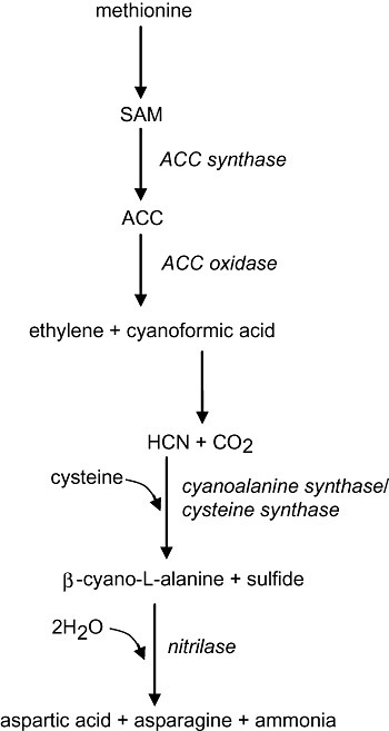 Ethylene, cyanide and β‐cyano‐l‐alanine synthesis in plants. When plants synthesize ethylene they also produce cyanide as a co‐product. Cyanide is converted to β‐cyano‐l‐alanine which is subsequently detoxified by a NIT4‐type nitrilase to aspartic acid and ammonia. Asparagine is also produced in this reaction because NIT4 displays β‐cyano‐l‐alanine‐hydratase activity (Piotrowski et al., 2001). Enzymes are shown in italics. SAM, S‐adenosyl‐l‐methionine; ACC, 1‐aminocyclopropane‐1‐carboxylic acid. This figure was adapted from Davies (1995).
