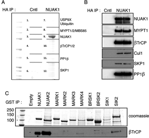 NUAK1 binds to βTrCP(A) HA–NUAK1 was immunoprecipitated (IP) from U2OS Flp/In cells expressing empty vector (Cntl) or with overexpression of HA–NUAK1. The immunoprecipitates were resolved on a polyacrylamide gel and was stained with Coomassic Blue. The gel was divided into the indicated pieces, and proteins in these pieces were identified by mass spectrometry. Previously published interactors ubiquitin and USP9X were identified in band 7, MYPT1, MYPT2 and MBS85 were identified in band 8, PP1β in band 11, and NUAK1 in band 9. βTrCP1 and βTrCP2 was identified in band 10, whereas SKP1 was identified in band 12. Mascot scores of the interactors are detailed in Supplementary Table S1 (http://www.biochemj.org/bj/461/bj4610233add.htm). (B) Overexpressed HA–NUAK1 was immunoprecipitated from U2OS Flp/In cell lysate stably overexpressing HA–NUAK1 and subjected to immunoblotting with the indicated antibodies. U2OS Flp/In cell lysate expressing empty vector was used as a negative control. (C) HEK-293 cells were transfected with expression plasmids for GST-tagged AMPK-related kinases. At 36 h after transfection cells were lysed and GST-tagged proteins were immunoprecipitated from 5 mg of cell lysates. Immunoprecipitates were analysed by immunoblotting with indicated antibodies. MARK, MAP/microtubule affinity-regulating kinase.