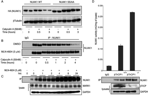 NUAK1 is protected from phosphorylation-mediated degradation upon SCFβTrCP inhibition(A) U2OS cells stably expressing NUAK1 WT or S476A+S480A mutant were treated with 50 nM calyculin A over the indicated periods of time. The cell lysates were analysed by immunoblotting with indicated antibodies. (B) Endogenous NUAK1 was immunoprecipitated (IP) from 1 mg of U2OS cell lysates treated with calyculin A (50 nM) and with or without MLN-4924 (3 μM) over the indicated periods of time prior to lysis. Immunoblotting was carried out to detect NUAK1 levels in the immunoprecipitates. Pre-immune IgG was used as a control. (C) Endogenous NUAK1 was immunoprecipitated from 1 mg of U2OS cell lysates treated with MLN-4924 (3 μM) over the indicated periods of time prior to lysis. Immunoprecipitates were analysed by immunoblotting with indicated antibodies. (D) βTrCP1+/+ (WT) and βTrCP1−/− (knockout) MEFs were lysed and analysed by immunoblotting with the indicated antibodies. Endogenous NUAK1 was immunoprecipitated and its activity was assayed in triplicates with pre-immune IgG as control. Results are means±S.D.