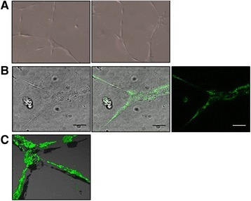 High contrast images of differentiated HUVEC in the TLA assay by Differential Interference Contrast (DIC) and confocal fluorescence microscopy. HUVEC stimulated to form tube-like structures with 25 ng/ml VEGF on a 35 mm glass-bottom dish covered with 10 μl matrix is compatible with DIC (x20 objective) (A) and confocal microscopy (x63 objective); Scale bar = 25 μm (B). Mitochondria (green) were stained using MitoTraker green (200nM). For 3D imaging (C) of the mitochondrial network, z-stacks were obtained at x40 magnification and re-constructed using Volocity software.