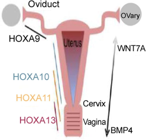 Schematic Diagram of Gene Expression in Development of Female Reproductive.Tract: Tissue specific regulation by the Hoxa family homeobox transcription factors are important in the development in the oviducts (Hoxa9), uterus (Hoxa10 and Hoxa11), cervix (Hoxa11 and Hoxa13) and vagina (Hoxa11 and Hoxa13) as shown. Wnt family genes are believed to be involved in the anterior-posterior as well as radial patterning. Specifcally shown here is Wnt7a, which is required for maintenance of Hoxa10 and Hoxa11 expression in the uterus. Also illustrated is the gradient of BMP4 expression, strongest in the vagina and weakest in the uterus. The opposite gradient has been noted for Wnt7a