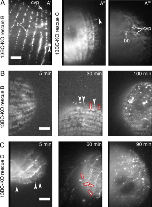 GFP-Kin13Bp and GFP-Kin13Cp rescue the mutant phenotype of 13BC-KO cells and localize to assembling cilia. (A) TIRF images of 13BC-KO cells rescued with either GFP-Kin13Bp (A′) or GFP-Kin13C (A′′, A′′′). GFP-Kin13Bp and GFP-Kin13Cp are detected near the basal bodies, CVP, and in a subset of cilia, possibly enriched at their tips. (B) TIRF images of 13BC-KO cells rescued with GFP-Kin13Bp that were deciliated and allowed to regenerate their cilia for 5, 30, and 100 min. The background of faintly autofluorescent mitochondria is visible. Note the GFP-positive cilia on the cell surface at 30 min. (C) TIRF imaging of 13BC-KO cells rescued with GFP-Kin13Cp that were deciliated and allowed to regenerate cilia for 5, 60, and 90 min. Note short cilia at 60 min. Red boxes outline growing cilia. Arrowheads mark growing cilia where the pattern of fluorescence is consistent with the strong presence of kinesin-13 limited to the distal tips. bb, basal body; cvp, contractile vacuole pore. Bar, 20 μm.