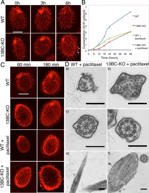 13BC-KO cells are hypersensitive to paclitaxel. (A) Confocal immunofluorescence images of wild-type and 13BC-KO cells grown in the presence of 40 μM paclitaxel for 0–6 h. The cilia were labeled with a mixture of anti–α-tubulin mAb (12G10) and anti-polyglycylation antibodies (polyG). Bar, 20 μm. Note that whereas the cilia in the wild-type cells grown in paclitaxel get longer, many cilia of mutant cells grown with paclitaxel are short and have tubulin-filled swellings at the tips (arrowheads). (B) Average growth curves of wild-type and 13BC-KO cells in the presence and absence of 20 μM paclitaxel. Bars represent SE (three experiments). (C) Confocal immunofluorescence images of wild-type and 13BC-KO cells that were deciliated and allowed to regenerate cilia for 60 and 180 min in the presence or absence of 20 μM paclitaxel and labeled with a mixture of anti–α-tubulin mAb (12G10) and anti-polyglycylation antibodies (polyG). Bar, 20 μm. Note that the majority of paclitaxel-treated 13BC-KO cilia are short and have tubulin- filled swollen tips. (D) TEM images of wild-type and 13BC-KO cells treated with 40 μM paclitaxel for 6 h, showing cross section of distal cilia segments with peripheral singlet microtubules (a and b), cross section of the middle segments with doublet microtubules in cilia (c and d), and longitudinal sections of axonemes distal segments (e and f). Bar, 0.2 μm.