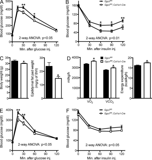 Improved glucose tolerance, insulin sensitivity, and energy expenditure in Ggcxfl/fl;Col1a1-Cre mice. (A) GTTs in Ggcxfl/fl (n = 11) and Ggcxfl/fl;Col1a1-Cre (n = 9) 2–3-mo-old male mice. Mice were fasted for 16 h and injected i.p. with 2 g/kg glucose. (B) ITTs in Ggcxfl/fl (n = 16) and Ggcxfl/fl;Col1a1-Cre (n = 11) 2–3-mo-old male mice. Mice were fasted for 4 h and injected i.p. with 0.7 U/kg insulin. (C) Body weight (left) and epididymal fat pad weight normalized to body weight (right) in Ggcxfl/fl (n = 10) and Ggcxfl/fl;Col1a1-Cre (n = 10) 5-mo-old male mice. (D) Metabolic rates and heat production (energy expenditure) in Ggcxfl/fl (n = 9) and Ggcxfl/fl;Col1a1-Cre (n = 8) 3-mo-old male mice during the dark 12-h phases. (E) GTTs in Ggcxfl/fl (n = 13) and Ggcxfl/fl;Col1a1-Cre (n = 9) 2–3 mo-old female mice. Mice were fasted for 16 h and injected i.p. with 2 g/kg glucose. (F) ITTs in Ggcxfl/fl (n = 12) and Ggcxfl/fl;Col1a1-Cre (n = 8) 2–3-mo-old female mice. Mice were fasted for 4 h and injected i.p. with 0.3 U/kg insulin. Results are given as means ± SEM. *, P < 0.05; **, P < 0.01.