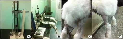 The animal model of GM contusion and EA treatment. (A) An acute GM contusion model device. (B) The fixed position of the rabbits. (C) EA at the Ashi acupoints of the injured side. The acupoints were located 10 mm from the proximal (anode) and distal (cathode) ends of the contusion midpoint. (D) EA at the ST36 acupoint of the normal side. The main needle was inserted into a standard acupoint area, and the auxiliary needle was placed 5 mm away from the main needle.