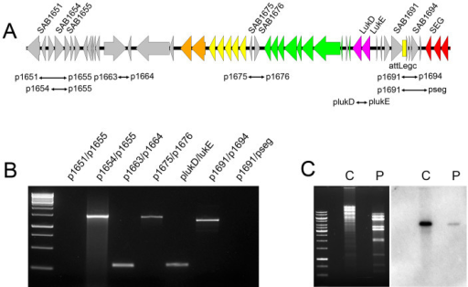 Identification of a tranducing phage particle, φSaBovLUK, harboring linear phage DNA.(A) A schematic map of linear phage DNA, based on PCR results (see below). Coloring of genes is as in Fig. 1. (B) Based on genome sequencing results of MNKN and CTH96 transductants, various sets of primer (see above map) were designed and tested to locate a linear form of phage DNA containing a bacteriocin gene cluster and LukD/E genes. PCR was positive with primer pairs p1654/p1655 and p1691/p1694 but not with p1651/p1655 and p1691/pseg, indicating a linear form of phage DNA with left flanking near SAB1654, and right flanking near SAB1694. (C) Southern blot analysis of RF122 chromosomal DNA (C) and phage DNA (P) digested with EcoRI restriction enzyme using a probe specific to the lukE gene (the membrane used in this figure is the same as in Fig. 1).
