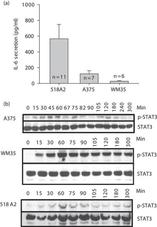 Interleukin (IL)-6 production and signaling in human melanoma cells of different leasional stages. (a) Human melanoma cells 518A2, A375, and WM35 were cultured in serum-free medium for 48 h and analyzed for IL-6 levels with ELISA. Bars and errors indicate the mean±SD. (b) Serum starved human melanoma cells 518A2, A375, and WM35 were exposed to 20 ng/ml IL-6 for the indicated time points. Western blots show phosphorylated STAT3 (p-STAT3), which is compared with total STAT3 as a loading control.