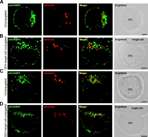 VAMP8 does not colocalize with cytotoxic granule constituents in human CTLs. (A and B) SIM images depicting VAMP8 localization in unconjugated (A) or SEA-target cell-conjugated (B) human CTLs stained with anti-VAMP8 and anti–granzyme B (GzmB). (C and D) SIM images depicting VAMP8 localization in unconjugated (C) or SEA-target cell-conjugated (D) CTLs stained with anti-VAMP8 and anti-perforin. (C) SIM images of resting human CTL stained with anti-VAMP8 and anti-perforin. For SEA-target cell-conjugated CTLs, the Pearson's coefficient for VAMP8 versus perforin was r = 0.28 (n = 10). Bars, 2.5 µm.