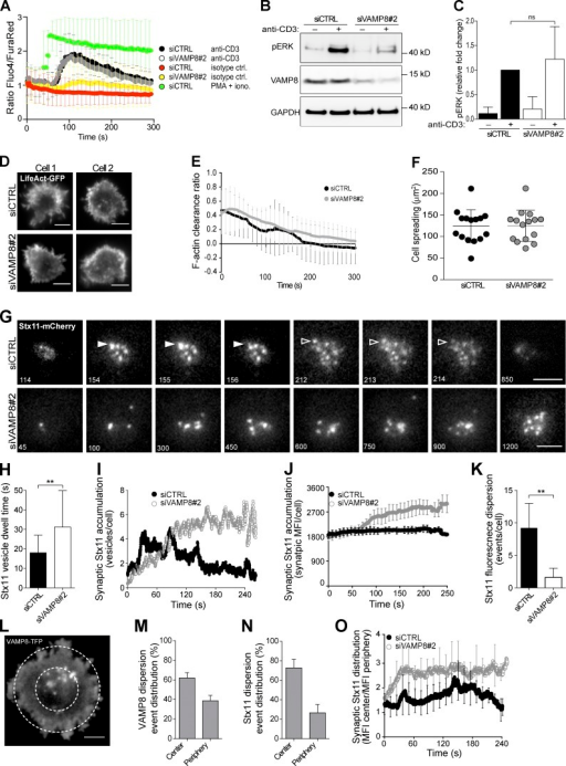 VAMP8 knockdown does not affect proximal T cell signaling, but regulates Stx11 vesicle trafficking and fusion at immune synapses. (A–K) Bead-stimulated human CD8+ T cells were transfected with siRNA, as indicated, as well as LifeAct-GFP (D–F) or Stx11-mCherry (G–K). (A) CTLs were loaded with Ca2+-sensitive Fluo-4 and Fura red dyes and assessed by flow cytometry and stimulated as indicated. iono., ionomycin. (B and C) Western blot of CTL lysates after transfection and stimulation as indicated. (B) Blots for phospho-ERK (pT202/pY204), VAMP8, and loading control GAPDH are shown for one representative donor. (C) Densitometry analysis of phospho-ERK signaling in five individual donors. Mean values are indicated, with bars representing SDs (ANOVA). (D) TIRF microscopy images of CTLs transfected with siRNA, as indicated, and LifeAct-GFP after contact with anti-CD3 and anti-CD28 antibody-coated coverslips for 250 s. (E) Quantification of F-actin clearance based on LifeAct-GFP fluorescence in individual cells (n = 12). (F) Quantification of cell spreading was based on LifeAct-GFP fluorescence in individual cells (n = 15). (G) Selected live-cell TIRF microscopy images of mCherry-Stx11 in representative CTLs transfected with siRNA as indicated. Arrowheads indicate fusion events; vesicle 1 is indicated by closed arrowheads, and vesicle 2 is indicated by open arrowheads. (H) Mean dwell time of mCherry-Stx11 vesicles in the TIRF plane per cell (n = 15, unpaired t test, **, P > 0.01). (I) Mean mCherry-Stx11 vesicle accumulation over time in the TIRF plane per cell (n = 20). (J) Mean overall mCherry-Stx11 accumulation over time in the TIRF plane per cell (n = 20). (K) Mean fluorescence dispersion events for mCherry-Stx11 vesicles in the TIRF plane per cell (n = 15, unpaired t test, **, P > 0.01). (L) Representative TIRF image depicting concentric circle region of interest used for radial analysis and dispersion of VAMP8-TFP and mCherry-Stx11. (M) Graph depicts the distribution of cumulative VAMP8-TFP fluorescence dispersion events on a per cell basis. (N) Graph depicts the distribution of cumulative mCherry-Stx11 fluorescence dispersion events on a per cell basis. (O) Quantification of mCherry-Stx11 radial distribution in TIRF plane of CTLs cotransfected with siRNA, as indicated. siCTRL, control siRNA. Bars: (D and G) 5 µm; (L) 2.5 µm.
