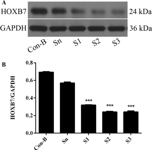 Protein expression of HOXB7 following transfection for 72 h: Con-B group, blank control group; Sn group, negative control siRNA; S1 group, S1 transfection group; S2 group, S2 transfection group and S3 group, S3 transfection group. (A) The protein expression level of HOXB7 was measured by western blotting. (B) The optical density for target protein is shown as a proportion of GAPDH optical density. Cells in the S3 group had the lowest HOXB7 protein expression level (***P<0.001, compared with the Con B and Sn groups). HOXB7, homeobox B7.
