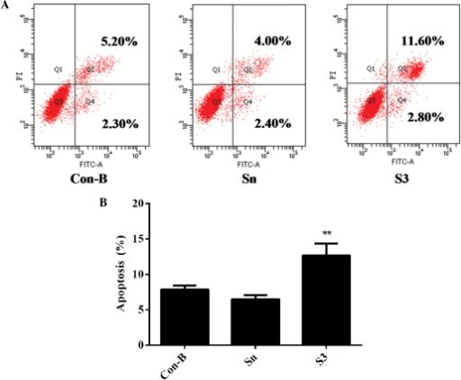 Apoptotic rate following transfection for 48 h in MCF-7 cells. Con-B group, blank control group; Sn group, negative control siRNA; S3 group, S3 transfection group. The apoptotic rate in S3 groups was the highest compared with that in Con-B groups and Sn groups (**P<0.01). (A) Early apoptotic cells are defined as Annexin V+/PI−, whereas late apoptotic cells are Annexin V+/PI+. Data are representative results for one of the three replicates. (B) Percentage of Annexin V+/PI− MCF-7 cells following transfection with S3 for 48 h. HOXB7-S3 effectively enhanced MCF-7 cell apoptosis. Data are the average of three independent experiments each containing three replicates. HOXB7, homeobox B7; PI, propidium iodide; siRNA, small interfering RNA.