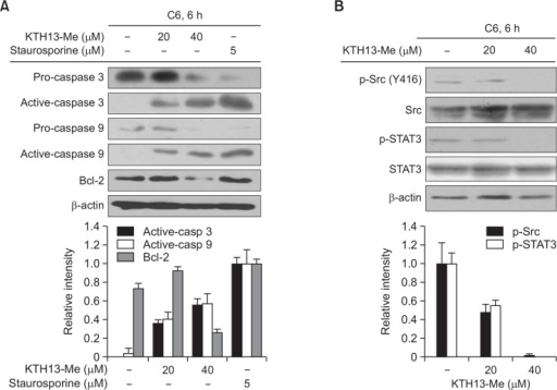 Effect of KTH-13-Me on the expression of apoptosis-related and cell survival regulatory proteins. (A and B) Enhanced levels of active apoptosis-related proteins (cleaved caspases-3 and -9) and activated cell survival-regulatory proteins (phospho-Src and phospho-STAT-3) in C6 glioma cells incubated with KTH-13-Me for 6 h were detected by immunoblotting analysis. Relative intensity was calculated using total levels with the DNR Bio-Imaging system. All of the data are expressed as the means ± SD of experiments that were performed with six or three samples. *p<0.05 and **p<0.01 compared to the control group.
