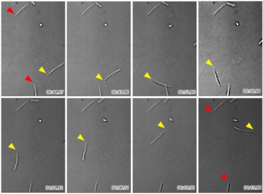 Time-lapse images of multicell-ensheathed fragments found moving around the periphery of the sheath clump. Fragments marked by red arrowheads did not move during the observations; fragment marked by yellow arrowhead moved. Time elapsed is shown at the bottom right of each image.