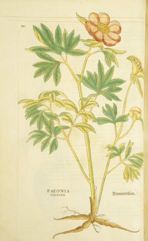 <p>Hand-colored woodcut of the poeny plant, showing the stalks, leaves, flowers, bulbs, and roots.</p>