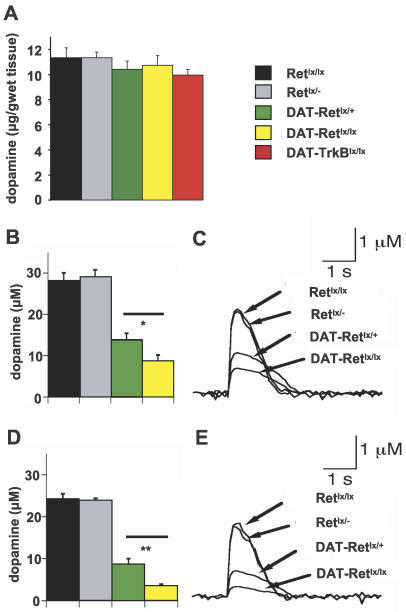 Reduced Dopamine Release in the Striatum of DAT-Retlx/lx Mice(A) Total dopamine levels normalized to 2,3-dihydroxybenzoic acid (DHBA) and expressed relative to the weight of wet striatum (grams) of 2-y-old control mice (Retlx/lx), heterozygous Retlx/−, heterozygous DAT-Retlx/+, homozygous DAT-Retlx/lx, and DAT-TrkBlx/lx mice. Note the minor reduction of total dopamine levels in all mice carrying the DAT-Cre knock-in construct.(B–E) Evoked dopamine release after electrical stimulation in the dorsal striatum of control mice (Retlx/lx and Retlx/− mice), heterozygous DAT-Retlx/+ mice, and homozygous DAT-Retlx/lx mice of 1 y (B and C) or 2 y (D and E) of age. In both age groups, there is a significant decrease of released dopamine in the mice carrying the DAT-Cre knock-in construct compared to controls. There is a further significant decrease in the homozygous DAT-Retlx/lx mice due to the lack of Ret (n = 5 per genotype, p < 0.05, Student t-test). *, p < 0.05; **, p < 0.01 (Student t-test). (C and E) Representative traces of single evoked dopamine release in different control and mutant mice.