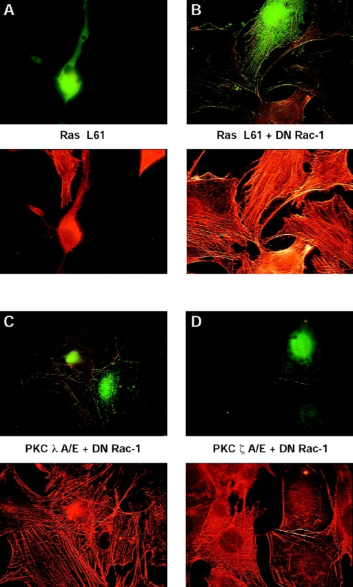 Evidence that atypical aPKC-λ acts upstream and  aPKC-ζ acts downstream of Rac-1. Shown are representative fluorescence images of fibroblasts transiently expressing Ha-Ras  L61 (A and B). (A) Ha-Ras L61 alone, or (B) together with  DN Rac-1 N17; (C) (CA) aPKC-λ A119E together with (DN)  Rac-1 N17; or (D) (CA) aPKC-ζ A119E together with (DN)  Rac-1 N17. 48 h posttransfection, cells were fixed and visualized  as described in Materials and Methods. Representative cells of at  least three different experiments are shown for all panels. Stacks  of images were exported into Adobe Photoshop and printed on a  color laser copier system.