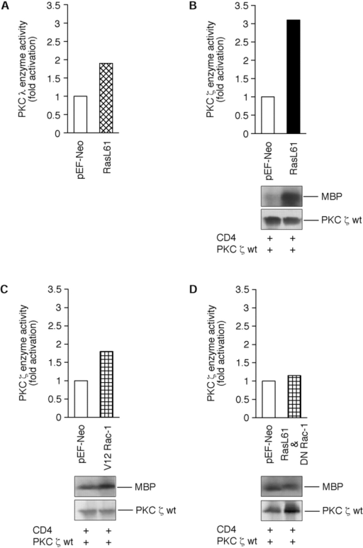 Effects of oncogenic Ras and constitutively active Rac  on kinase activities of aPKC-ζ and aPKC-λ. Shown are representative immunocomplex kinases assays (B–D) and an in vitro kinase assay (A) of magnetically separated COS-1 cells. The data  are designed as bar graphs (top panels) and as corresponding autoradiograms of the myelin basic protein (MBP) assay (bottom  panels). Equal amounts of recombinant proteins used in the experiment were employed using a standard Western blotting  technique as described by Kampfer et al. (1998). In brief, logarithmically growing cells were transiently cotransfected with (A)  Ha-Ras L61 together with aPKC-λ/ι, (B) Ha-Ras L61 together  with aPKC-ζ, (C) CA Rac-1 V12 together with aPKC-ζ, and (D)  DN Rac-1 N17 together with aPKC-ζ. Concerning magnetic bead  separation of positively transfected cells, a truncated CD4 surface marker was cotransfected in B and C. 48 h posttransfection,  cells were separated by using magnetic beads as described by the  manufacturer and PKC assays were done as described under Materials and Methods. Enzyme activities are expressed as cofactor-independent phosphorylation of (A) a synthetic PKC-α peptide  (A25S, for details see Fig. 2 legend) or myelin basic protein  (B–D). Computer-assisted calculation of PKC-ζ or PKC-λ activities were done after scanning the corresponding PVDF membranes by using the Scanner Controller Sci System.