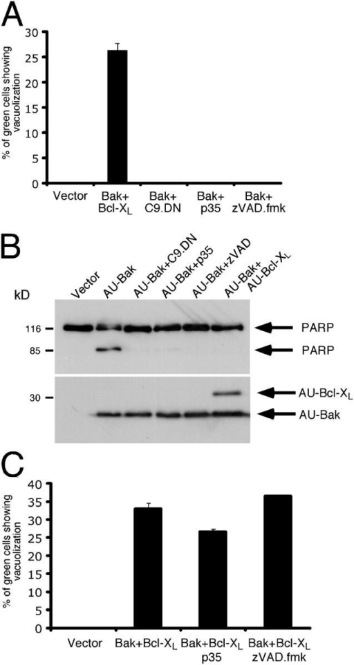 Inhibition of Bak-induced apoptosis is not sufficient to reveal cytoplasmic vacuolization. (A) Quantitation of vacuolated cells after transfection with Bak in the presence of different apoptotic inhibitors. 293T cells were transfected with a mix of the indicated plasmids and a GFP-expressing plasmid. C9.DN and p35 denote a dominant-negative version of caspase-9 and the viral caspase inhibitor p35, respectively. When indicated, the pan-caspase inhibitor z-VAD.fmk (100 μM) was added 1 h after transfection. Cytoplasmic vacuolization was scored as in Fig. 1 B. (B) Death inhibitors unable to reveal vacuolization block Bak apoptosis to the same extent as Bcl-XL. 293T cells were transfected with a mix of the indicated expression plasmids. Z-VAD.fmk (100 μM) was added 1 h after transfection. Cells were lysed 24 h after transfection. Shown are blots probed with anti-PARP (top) and anti-AU (bottom) antibodies. The latter confirms equal transfection efficiency. (C) Quantitation of cells showing cytoplasmic vacuolization after transfection with Bak and Bcl-XL in the presence of different inhibitors of apoptosis. 293T cells were transfected and treated as in A, and scored as in Fig. 1 B.