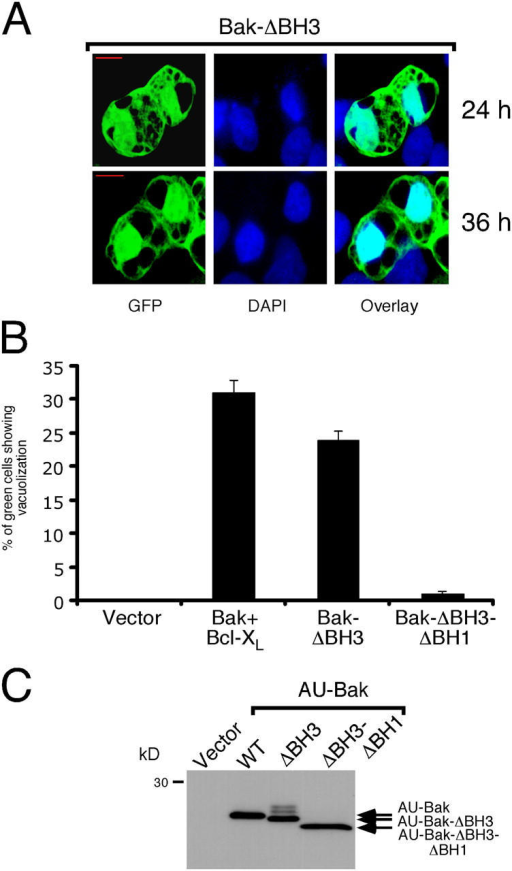 A version of Bak lacking the BH3 domain induces cytoplasmic vacuolization in the absence of cotransfected Bcl-XL. (A) Confocal analysis of cytoplasmic vacuolization induced by expression of Bak-ΔBH3. 293T cells were transfected with a mix of plasmids expressing Bak-ΔBH3 and GFP. Cells were fixed, mounted, and analyzed by confocal microscopy 24 or 36 h (as indicated) after transfection. (B) Quantitation of vacuolization in cells transfected with Bak-ΔBH3 or Bak-ΔBH3-ΔBH1. 293T cells were transfected with the indicated plasmids, along with a GFP-expressing plasmid. 36 h later the proportion of GFP-expressing cells showing vacuolization was determined as in Fig. 1 B. (C) AU-Bak, AU-Bak-ΔBH3, and AU-Bak-ΔBH3-ΔBH1 are expressed to comparable levels. 293T cells were transfected, lysed, and processed as in Fig. 1 F. Shown is a Western blot probed with an anti-AU antibody.
