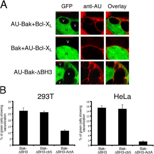 Involvement of ER-localized Bak in the generation of reticular swelling. (A) Perivacuolar localization of AU-Bak, AU-Bcl-XL, and AU-Bak-ΔBH3. 293T cells were transfected with the indicated constructs along with GFP. 36 h after transfection cells were fixed, stained with an anti-AU mAb followed by an anti–mouse-Cy3 (red) antibody, and mounted for confocal microscopy. N and V denote nuclei and vacuolae, respectively. (B) A version of Bak-ΔBH3 specifically targeted to the ER (Bak-ΔBH3-cb5) retains the capacity to induce ER swelling, whereas mitochondrial targeting (Bak-ΔBH3-ActA) results in a decreased activity. 293T or HeLa cells (as shown) were transfected with the indicated expression plasmids along with GFP. Z-VAD.fmk (100 μM) was added 1 h after transfection to reduce death. 36 h after transfection, cytoplasmic vacuolization was scored as in Fig. 1 B.