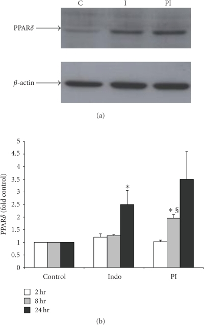 PGE2 increases PPARδ protein expression. Protein was isolated from IMCD-K2cells that had been treated with serum-free media (control, C), 10−5 M indomethacin (Indo, I), or 10−6 M PGE2 in the presence of I (PI) 2, 8, and 24 hours. The proteins were (a) run on an SDS-PAGE gel and Westernblotted using an anti-PPARδ antibody (1 : 500). A representative blot of 24-hourtreatment is shown. The membranes were stripped and β-actin was detected tonormalize samples for (b)densitometric analysis. Expression is presented as fold of control. Values aremeans  ±  S.E.M.; n = 3–6. *P < .05 compared to control; §P < .05 compared to indomethacin.