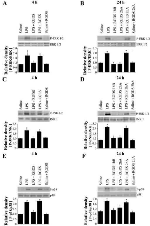 Effects of RGDS on phosphorylation of ERK1/2 (A, B), JNK1/2(C, D) and p38 MAP kinase (E, F) in lung tissue. Where indicated, mice were administered RGDS or RGES (5 mg/kg, i.p.) once 1 h before LPS treatment and sacrificed 4 h post-LPS. Mice were also administered these peptides (5 mg/kg, i.p.) once 1 h before or 2 h after LPS and sacrificed 24 h post-LPS. Western blotting was performed with each anti-specific (phospho) Ab on lung tissue homogenates. Relative values for phosphorylated MAP kinase versus MAP kinase, respectively, are indicated below the gel. Values represent means ± SEM of 5 mice per group. *Significantly different from saline treated controls, p < 0.05; +significantly different from animals treated with LPS only, p < 0.05.