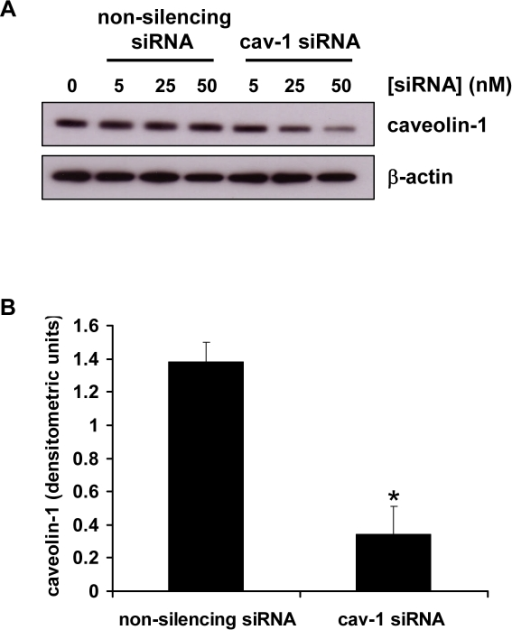 siRNA-mediated downregulation of caveolin-1 expression in BeWo cells.A, BeWo cells were transfected with the indicated concentrations of caveolin-1(Cav-1) siRNA or a non-silencing control siRNA. After 48 h cells were lysed and levels of caveolin-1 and β-actin were assessed by immunoblotting. B, densitometric analysis of immunoblots assessed for caveolin-1 expression and normalised to β-actin expression, in cells transfected for 48 h with 50 nM Cav-1 siRNA or non-silencing control siRNA. Results are presented as mean ± SEM for three separate experiments, *p<0.001 compared with control transfected cells (determined by ANOVA).