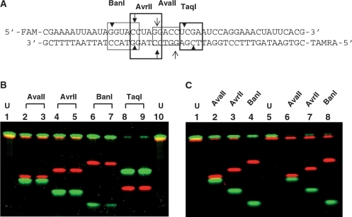 Cleavage Of IM399R IM398D RNA DNA Heteroduplex Substrate By AvaII AvrII BanI