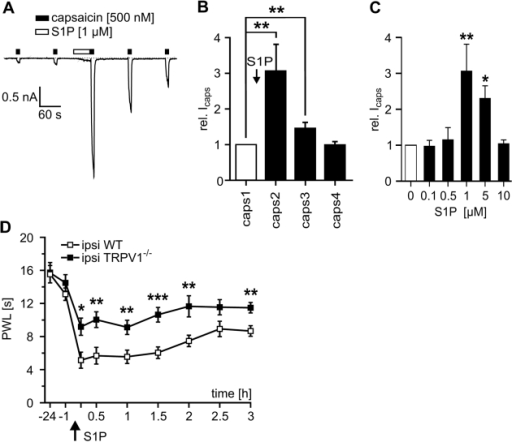 S1P-induced hypersensitivity largely depends on TRPV1 channels.(A) Currents elicited by the TRPV1 activator capsaicin (500 nM for 10 s, black boxes) were strongly facilitated after S1P (1 µM, 60 s, open box). (B) Average responses to repeated stimulation with 500 nM capsaicin before and after S1P (duration 3 s, interval 120 s). Icaps significantly increased by a factor of 3.1±0.74 after conditioning S1P application (n = 9, p<0.01; Wilcoxon matched pairs test) and fully recovered within 4 min. (C) Dose-response relationship for S1P-induced facilitation of Icaps. A maximum effect was observed at a S1P concentration of 1 µM with a half-effective dose ED50 of 0.55 µM. At concentrations exceeding 1 µM the sensitizing effect of S1P became less pronounced. (D) The S1P-induced reduction in paw withdrawal latencies was significantly attenuated but not fully abolished in TRPV1  mutant mice (filled squares) as compared to wt littermates (open squares, n = 0, *p<0.05, **p<0.01, *** p<0.001; ANOVA).