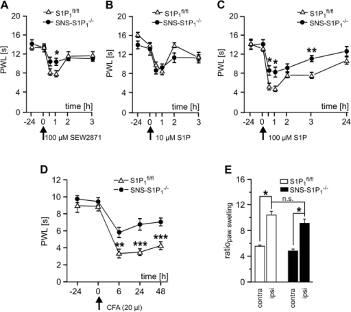 Reduced thermal hypersensitivity in S1P1−/−mice.(A) Injection of the S1P1 agonist SEW2871 induced a significant transient decrease in paw withdrawal latencies in S1P1fl/fl (n = 9) which was significantly less pronounced than in SNS-S1P1−/− mice (n = 10, *p<0.05; ANOVA). (B, C) While only a minor reduction of paw withdrawal latencies was observed in both mouse strains with local low dose S1P injection, we observed a significant decrease in paw withdrawal latencies in S1P1fl/fl mice (n = 7) which was similar to wt. In SNS-S1P1−/− mice the degree of hypersensitivity was significantly ameliorated in comparison to S1P1fl/fl mice (n = 9, *p<0.05, ** p<0.01; ANOVA). (D) CFA (20 µl) injection into the plantar hindpaw induced a pronounced decrease of PWL which was significantly attenuated in S1P1-Cre mice (p<0.05, n = 4; ANOVA). (E) Paw swelling was similar in SNS-S1P1−/− and S1P1fl/fl mice (n = 4).