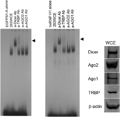 Analysis of proteins comprising the complex. Super shift assays. α-Dicer, α-TRBP, α-Ago2 or α-Ago1 antibodies were added to the HEK293 cell extract and incubated for 15 min prior to addition of either EGFPS1A or hnRNPH1 siRNA. Western analyses of proteins detected with the antibodies were also shown on the right. Of total protein, 50 µg for detection of Dicer and Ago1 or 150 µg for Ago2, TRBP and β-actin was loaded on 8% SDS–PAGE gels.