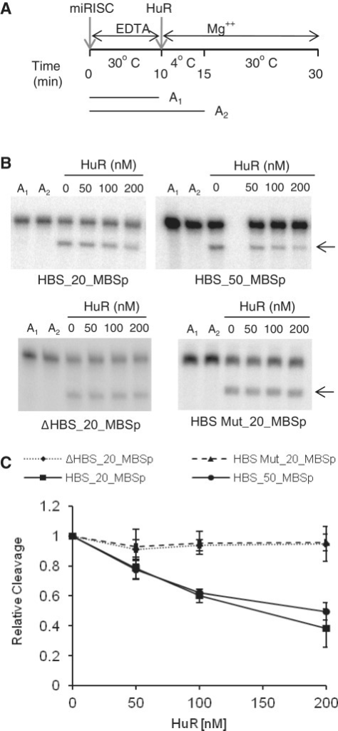 HuR inhibits cleavage by the miRISC pre-bound to RNA. (A) Overview of the experimental set up for cleavage assay with miRISC pre-bound to target RNA. RNA was pre-bound to miRISC for 10 min in the presence of EDTA to ensure blocking of the cleavage (time-point A1), followed by incubation on ice for 5 min (time-point A2) after simultaneous addition of HuR and Mg2+. The cleavage reaction was incubated for 15 min at 30°C. (B) Representative in vitro cleavage reactions of HBS_20_MBSp and HBS_50_MBSp RNAs (upper panels) and ΔHBS_20_MBSp and MutHBS_20_MBSp RNAs (lower panels), as a function of increasing concentration of HuR. Reactions followed the experimental set up presented in A. The RNA remains uncleaved when incubated with miRISC in the presence of EDTA at 30°C (lane A1) or upon addition of Mg2+ when the incubation is performed on ice (lane A2). (C) Quantification of reactions similar to the one shown in B (mean ± SD; n = 3).