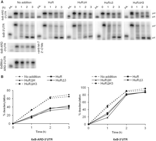 Effect of HuR and its mutants on miRNA-mediated deadenylation of target RNAs in Krebs-2 ascites extract. (A) Effect of HuR and its mutants on deadenylation of 6xB-ARD-3′UTR (upper row) and 6xB-3′-UTR (second row) RNAs as analyzed by PAGE. RNAs were incubated in the presence or absence of 250 nM of HuR or its mutants for indicated time. Positions of pA+ and pA− RNAs are marked on the right. (Bottom panels) Control assays performed in the absence of HuR with 6xBMut-ARD-3′-UTR and 6xB-ARD-3′-UTR RNAs, the latter assay containing anti-let-7 2′-O-methyl oligonucleotide. (B) Quantification of the deadenylation reactions of 6xB-ARD-3′-UTR (left panel) and 6xB-3′-UTR (right panel) shown in A.