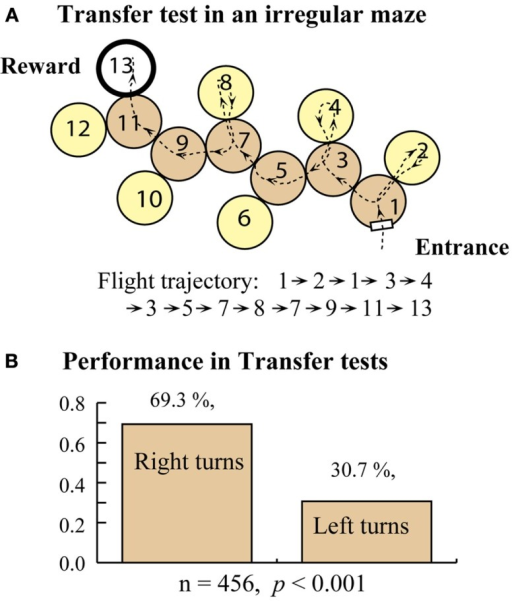 Training in a right turn maze and transfer test in an irregular maze. (A) Transfer test setup. (B) Test results. Modified from Zhang et al. (2000). Details in text.