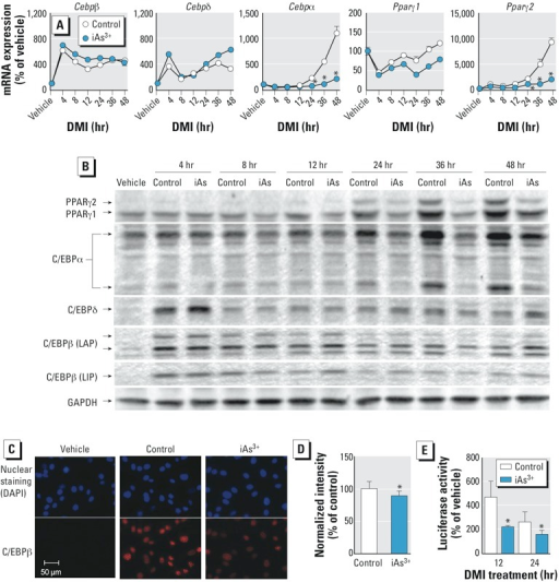 Inhibitory effect of iAs3+ on the transcriptional activity of C/EBPβ and expression of PPARγ and C/EBPs during adipogenesis in 3T3-L1 preadipocytes. Abbreviations: C/EBPβ (LAP), C/EBPβ isoform liver-enriched activator protein; C/EBPβ (LIP), C/EBPβ isoform liver-enriched inhibitory protein; Control, cells were differentiated using the DMI protocol for the indicated time; iAs3+, cells were treated with iAs3+ (5 μM) during DMI treatment; vehicle, cells were maintained in growth medium without DMI. (A) mRNA expression of Cebps and Pparγ at the same differentiation time (n = 3). (B) Effects of DMI treatment on protein expression of PPARγ and C/EBPs during adipogenesis. Two isoforms of C/EBPα (42 kDa and 30 kDa) are shown on the blot. (C) Representative images of immunostaining of nuclear C/EBPβ after 16-hr DMI treatment. (D) Quantification of fluorescence intensity of nuclear C/EBPβ shown in (C) (n = 4–5). (E) Activity of C/EBP-luciferase reporter following DMI treatment in control and iAs3+-treated vs. control cells.