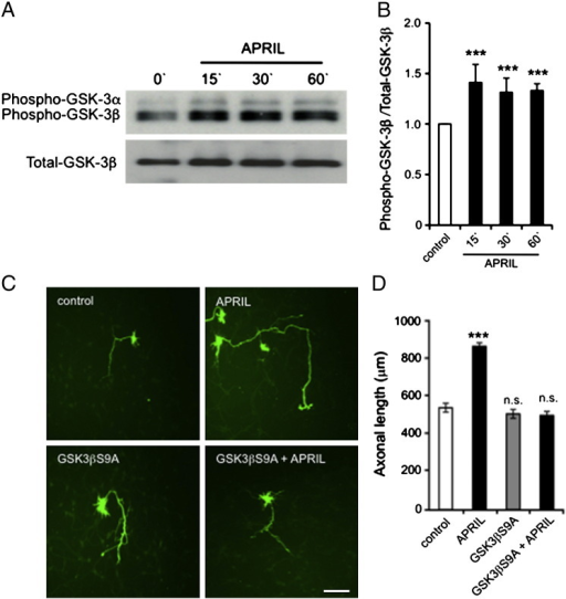 APRIL promotes axonal growth by activating GSK-3β signaling. (A) Representative Western blots probed for phospho-GSK-3α, phospho-GSK-3β and total GSK-3β in lysates of E18 hippocampal neurons treated with 100 ng/ml APRIL for the times indicated after first culturing the neurons for 3 days. (B) Densitometric quantification of levels of phospho-GSK-3β relative to total GSK-3β from 3 separate Western blot experiments (mean ± s.e.m., *** indicates P < 0.0001, statistical comparison with control, Mann–Whitney U test). (C) Images of representative E18 hippocampal pyramidal neurons that were transfected after 2 days in vitro plasmids expressing either GFP alone or GFP together with the GSK3β S9A mutant. After transfection, the neurons were cultured for a further 18 h with and without APRIL (100 ng/ml) before GFP immunostaining. (D) Bar chart of the axonal growth under the experimental conditions illustrated in C. The mean ± s.e.m. of data obtained from > 150 neurons per condition compiled from at least three separate experiments are shown in D (*** indicates P < 0.0001 and n.s., non-significant, statistical comparison with control, Mann–Whitney U test). Scale bars = 100 μm.