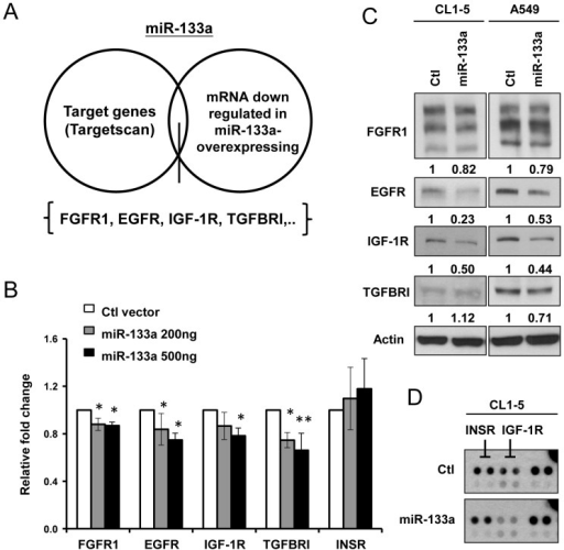 Oncogenic receptor expression and activation are regulated by miR-133a in lung cancer cell lines.(A) The target genes of miR-133a were determined from Targetscan prediction software and the two database containing mRNA expression levels of receptors in miR-133a-expressing cells. (B) Co-transfection of CL1-0 cells with the AS2-Neo vector (Ctl) or AS2-Neo-miR-133a-expressing plasmid with firefly luciferase fused with 3′UTR sequences of putative miR-133a target genes. Luciferase activity was measured, and the relative ratio of the activity in the miR-133a groups to that in the control vector group is presented. (C) 72 hours after transient infection with the miR-133a-expressing virus, the protein expression levels of receptors in CL1-5 and A549 cells were determined. (D) The phosphorylation level of IGF-1R was determined in CL1-5/AS2-Neo- or CL1-5/miR-133a-expressing cells by the Phospho-Receptor Tyrosine Kinase Array.