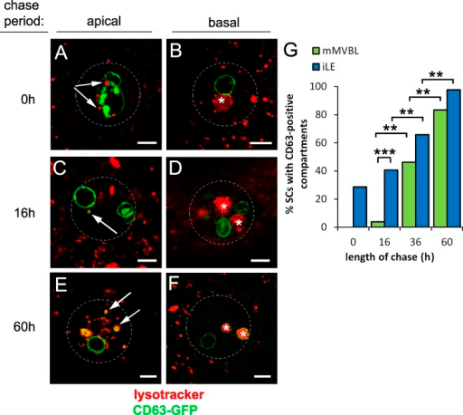 CD63-GFP traffics from secretory to endocytic compartments in SCs. (A–G) An 8-h pulse (at 28.5°C) of CD63-GFP expression was chased at 18°C for 0–60 h in virgin males, and proportions of cells with one or more LysoTracker red–positive iLEs (arrows in A, C, and E in apical sections; GFP positive in C and E) and mMVBLs (asterisks in B, D, and F in more basal views) that were CD63-GFP–positive were scored (G). Data shown are from a single representative experiment out of two repeats. The images in A–F are shown again in Fig. S3 alongside the corresponding single color channel images. Approximate outline of SC is marked in all images. **, P < 0.01; ***, P < 0.001; n > 24, pairwise comparisons, Fisher's exact test. Bars, 5 µm.